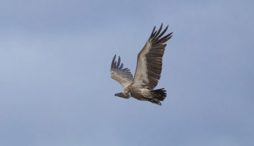 A White-backed vulture taking flight